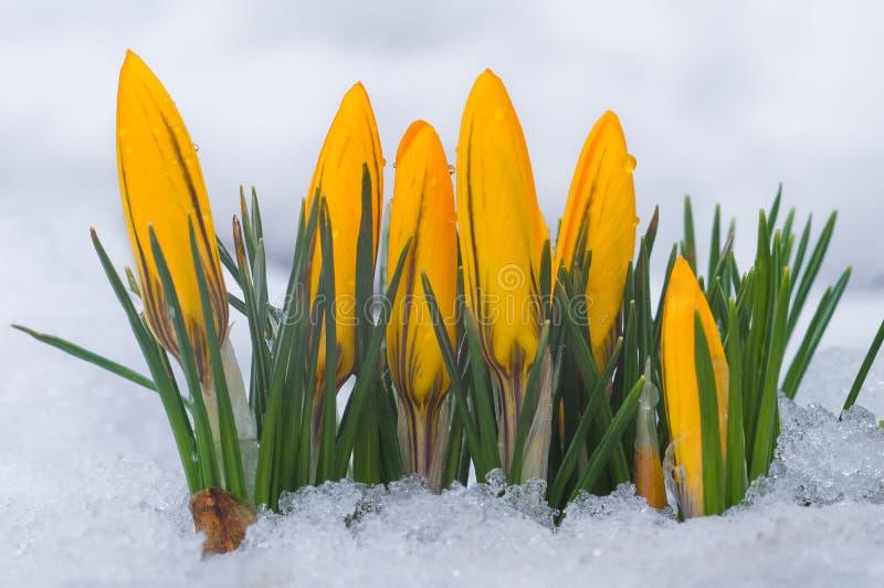 Primeras flores del resorte Azafranes amarillas que crecen entre nieve foto de archivo libre de regalías