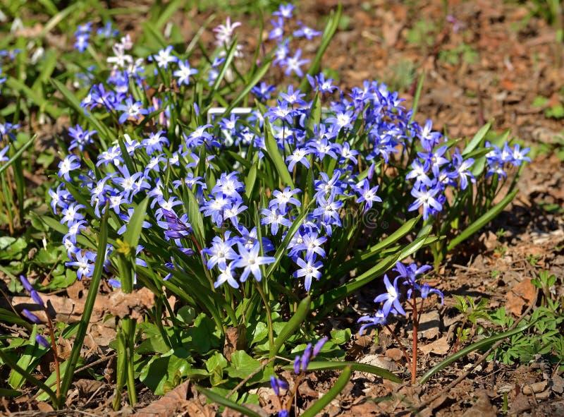 Primeras flores del resorte Forbesii de Chionodoxa o la gloria-de--nieve de Forbes, perennia con bulbo imagenes de archivo