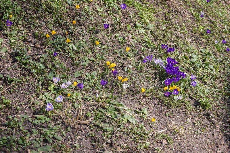 Primeras flores del resorte Primaveras en una colina del bosque Azafranes multicoloras de florecimiento Concepto de las estacione imagen de archivo libre de regalías