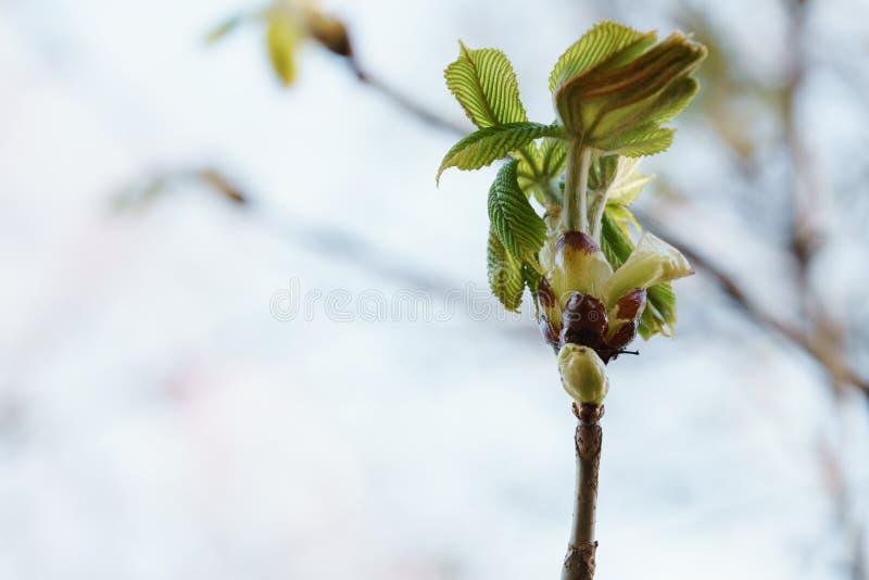 Primeras Hojas De La Castaña En árbol En Primavera Foto de archivo ...