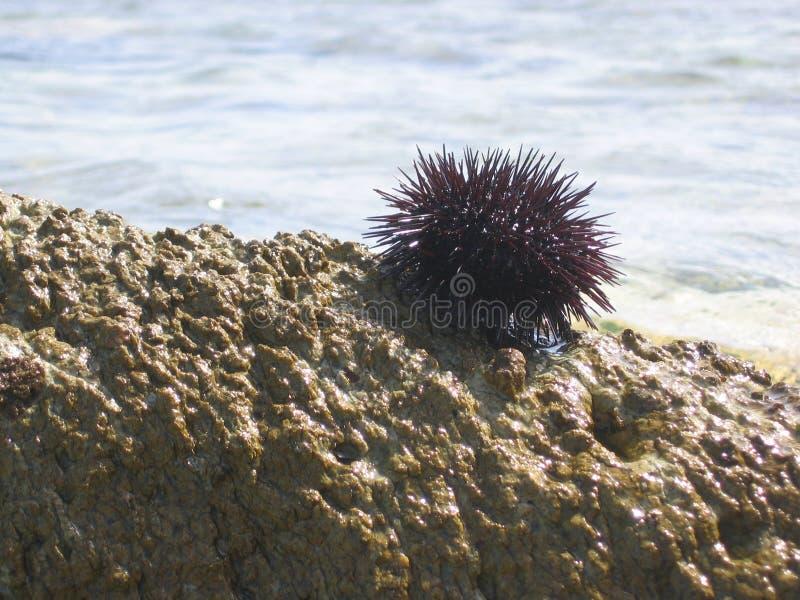Primero plano de un pequeño erizo de mar en una roca por el mar Grecia foto de archivo libre de regalías