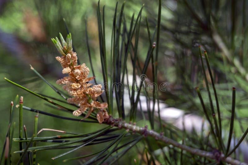 Primero tiempo de un cono del pino en jardín botánico fotografía de archivo