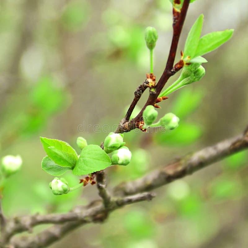 Primeros lanzamientos de la primavera y brotes de flor del ciruelo del jardín foto de archivo libre de regalías