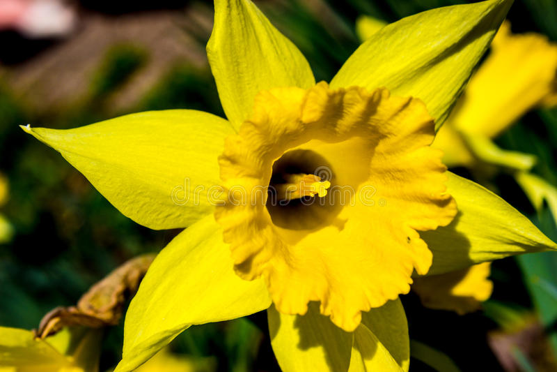 Primeros narcisos de la primavera foto de archivo