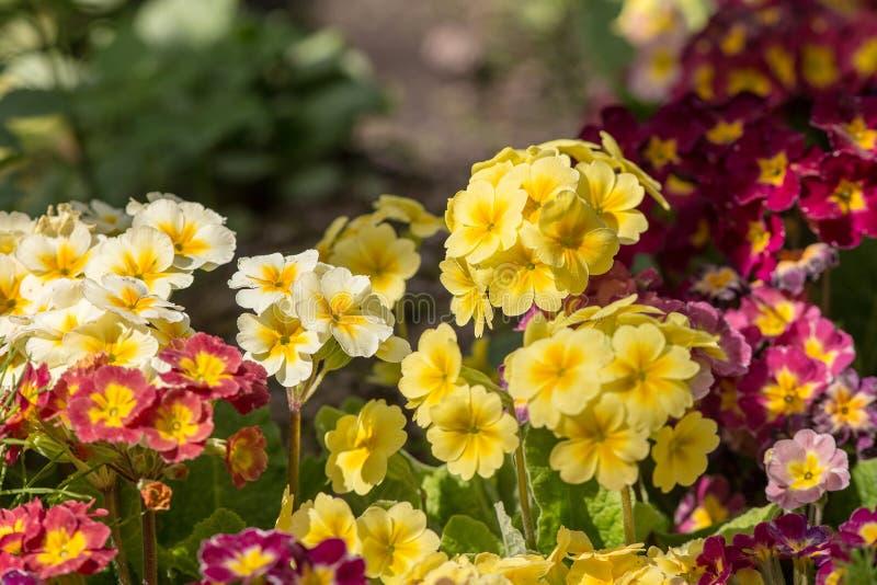 Download Primevère Dans Un Jardin De Ressort Image stock - Image du pourpré, saison: 87708841