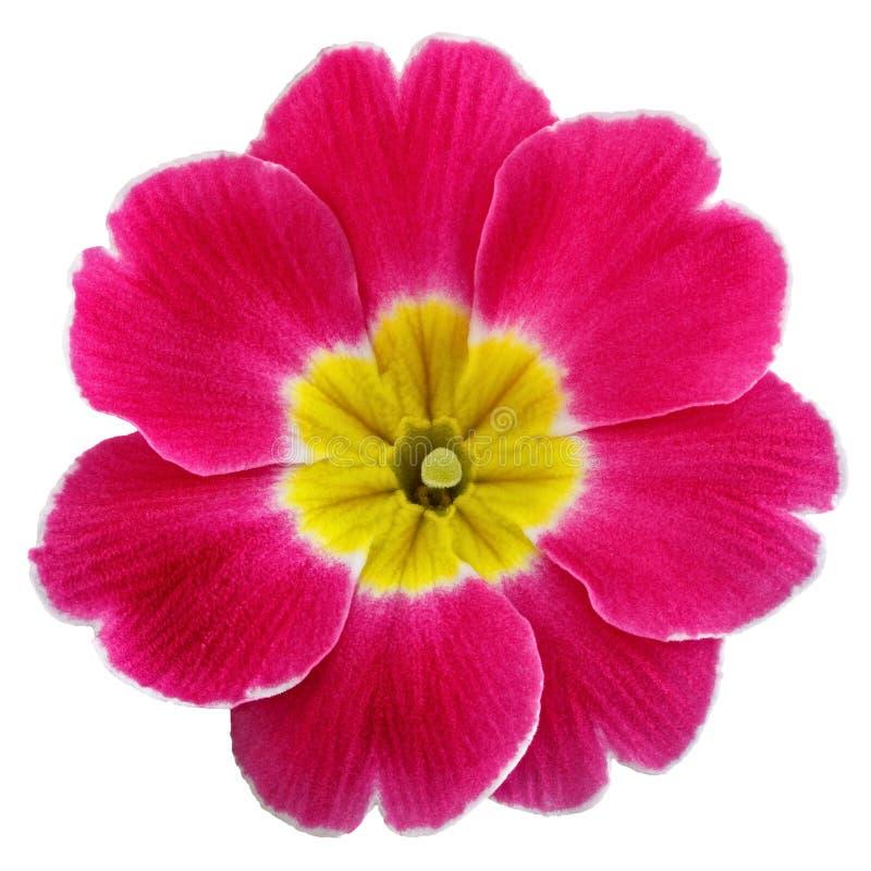 Primevère de fleur vulgaris avec les bourgeons de floraison d'isolement sur le fond blanc photo stock