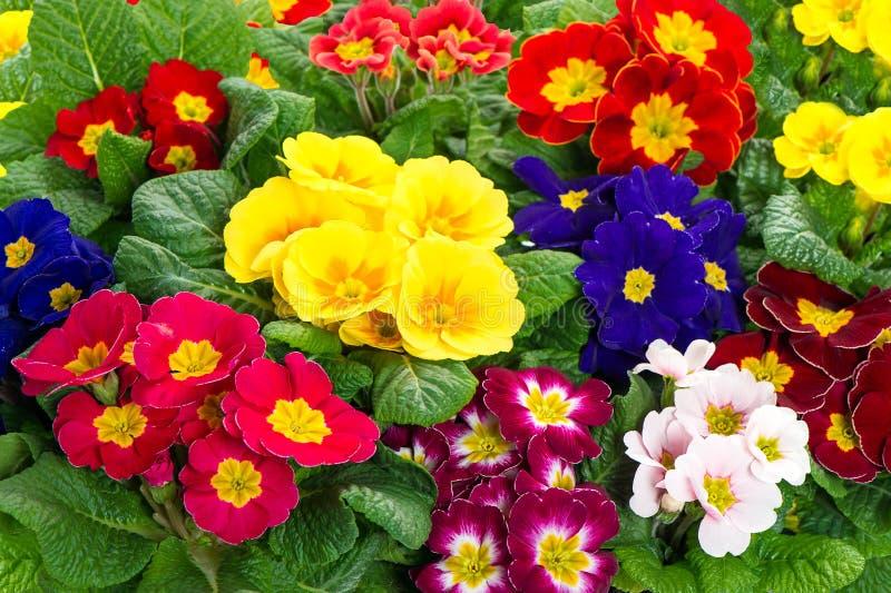 Primevères assorties de ressort. fleurs colorées de fleur images libres de droits