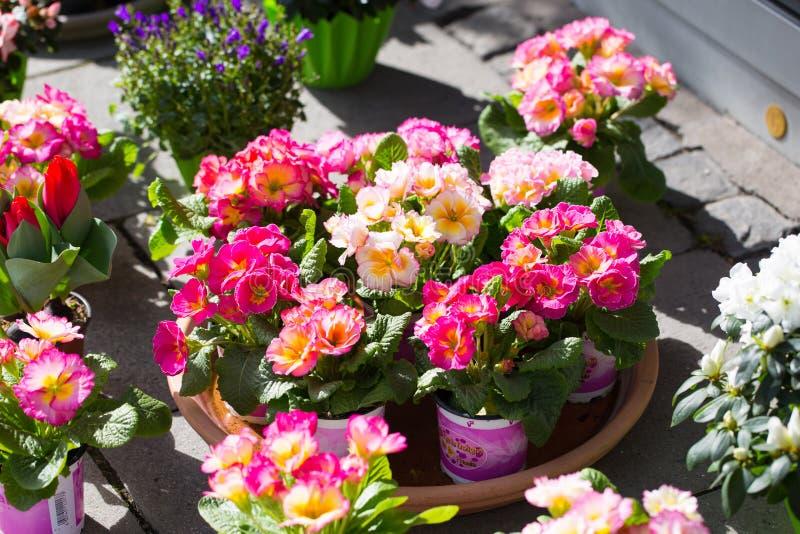 Primevères devant le fleuriste images stock