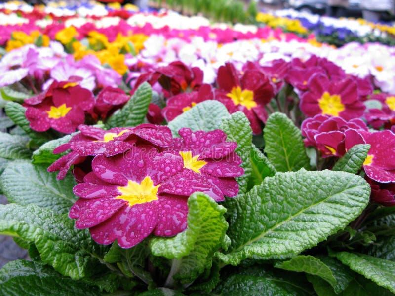 Primevères pluvieuses à vendre dans beaucoup de couleurs photo libre de droits