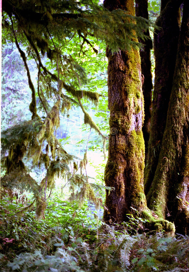 Download Primeval Dawn stock photo. Image of national, forest, washington - 105342
