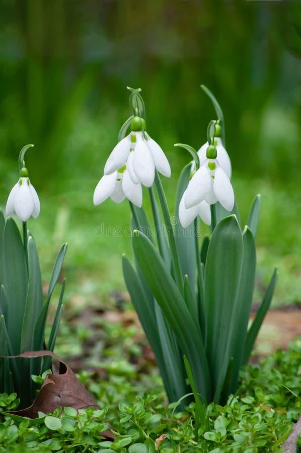 Primi bucaneve nella primavera fotografia stock