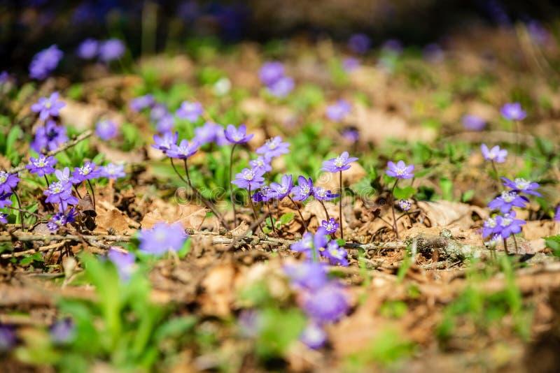 primi fiori blu che fioriscono nella foresta di primavera immagine stock
