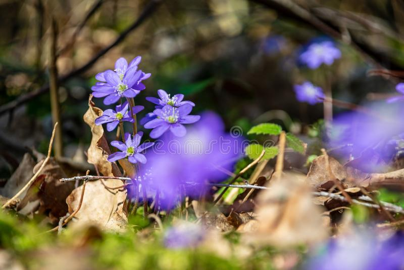 primi fiori blu che fioriscono nella foresta di primavera fotografia stock libera da diritti