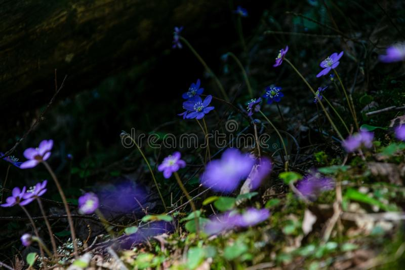 primi fiori blu che fioriscono nella foresta di primavera fotografia stock