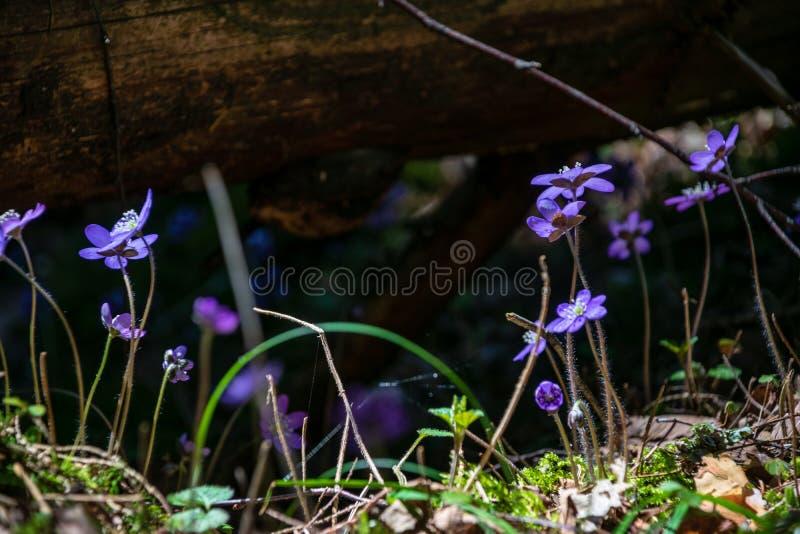 primi fiori blu che fioriscono nella foresta di primavera fotografie stock