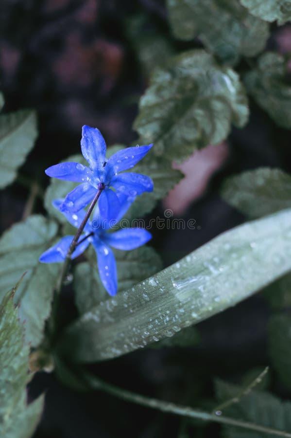 Primi fiori della sorgente immagine stock