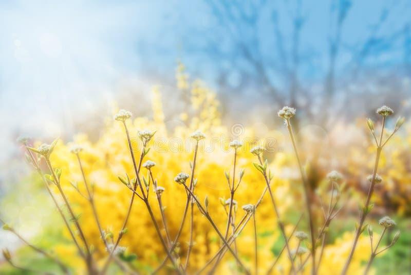 Primi fiori verdi su un cespuglio, fondo luminoso di giallo della sfuocatura fotografia stock libera da diritti