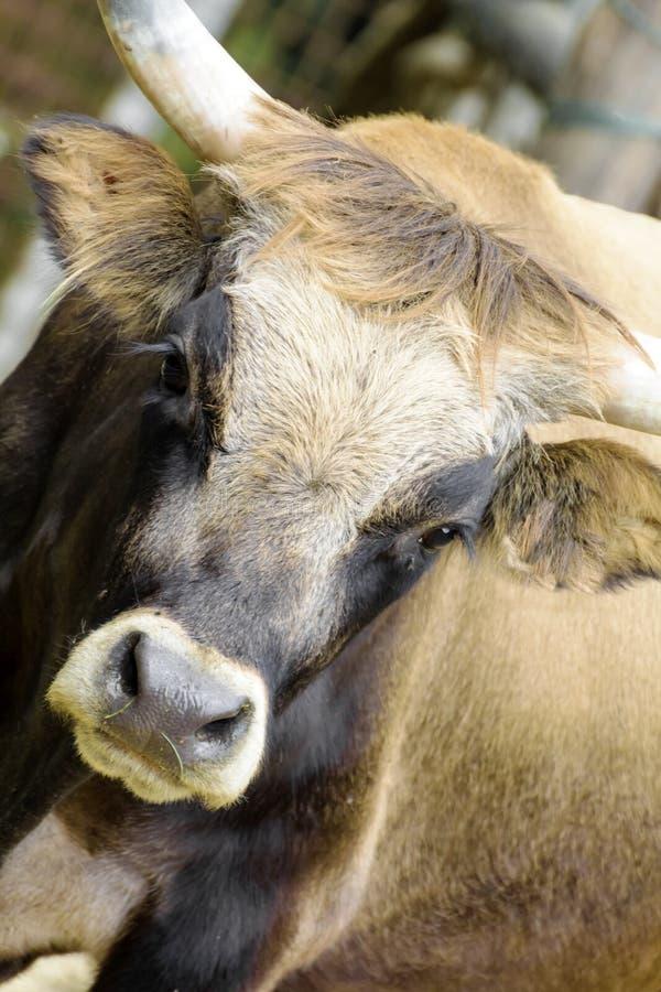 The primitive ox