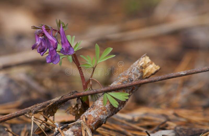 Primo fiore nella foresta di primavera fotografia stock libera da diritti