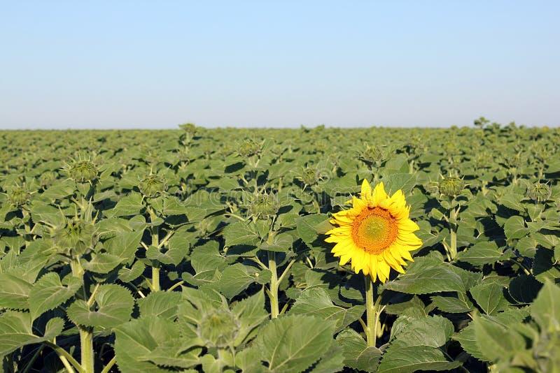 Primo girasole di fioritura immagini stock libere da diritti