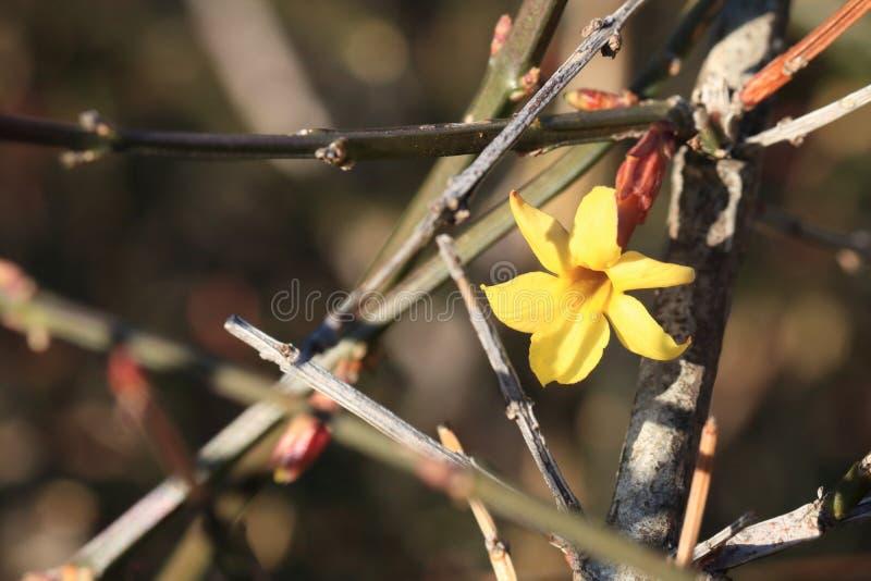 primo nudiflorum Lindl di ˆJasminum del ¼ del flowersï della molla 2018 ‰ del ¼ del ï immagini stock