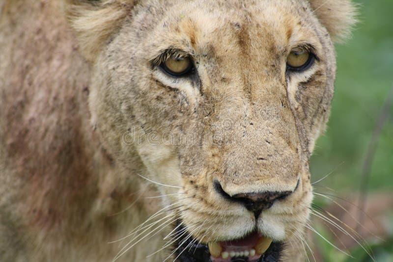 Primo piano africano della leonessa che vi esamina fotografia stock libera da diritti