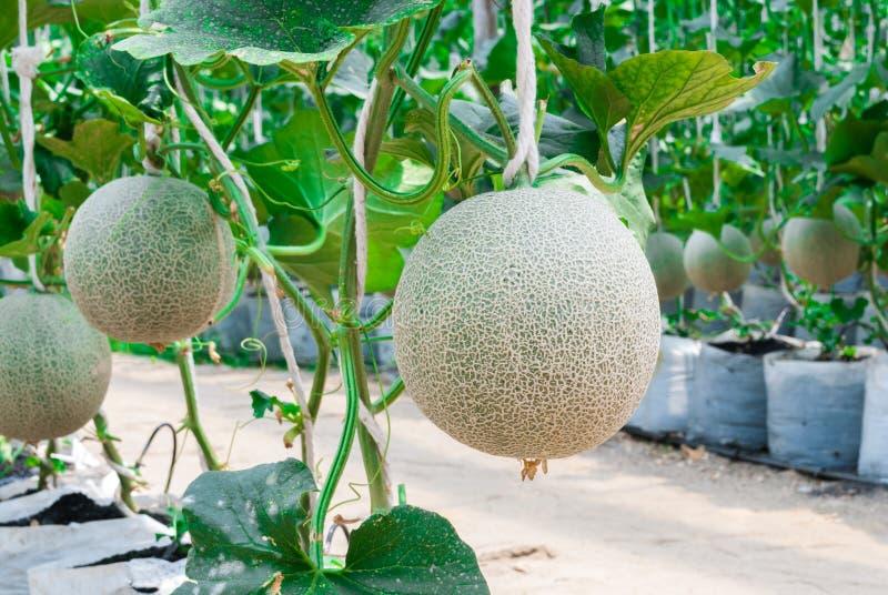 Primo piano al cucumis melo L del melone del cantalupo varietà Cantalpensis/cucurbitaceo fotografia stock libera da diritti