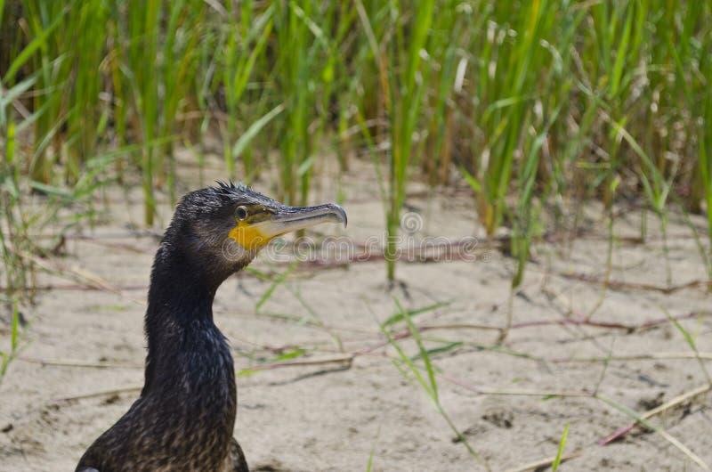 Primo piano al grande cormorano nero fotografia stock libera da diritti