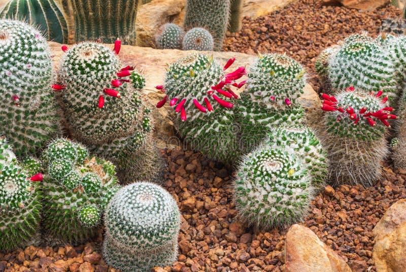 Primo piano al gruppo di pianta succulente ed arida del Cactaceae del cactus degli ibridi di Prolifera di mammillaria, immagine stock libera da diritti