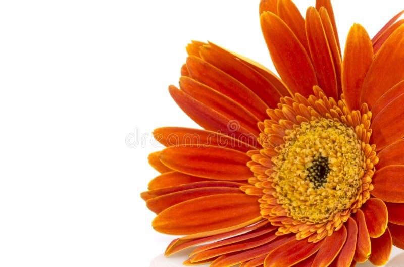 Primo piano arancio del fiore della margherita della gerbera (Transvaal) immagine stock
