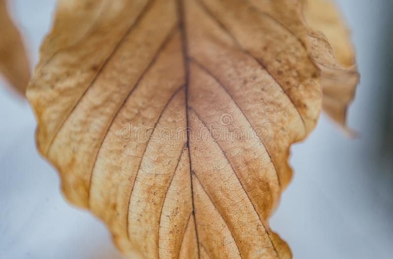 Primo piano arancio della foglia del faggio della quercia gialla di autunno isolato immagini stock libere da diritti