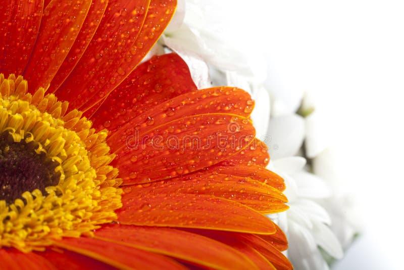 Primo piano arancio della gerbera sui petali del fiore con le gocce di acqua fotografie stock libere da diritti