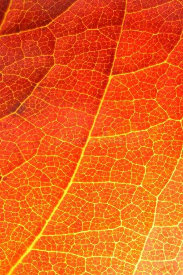 Primo piano arancione del foglio fotografia stock libera da diritti