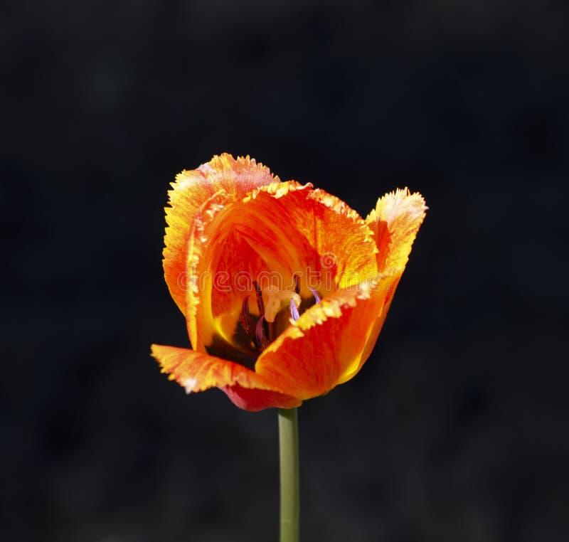 Primo piano ardente rosso del tulipano fotografia stock for Come costruire un mazzo del secondo piano