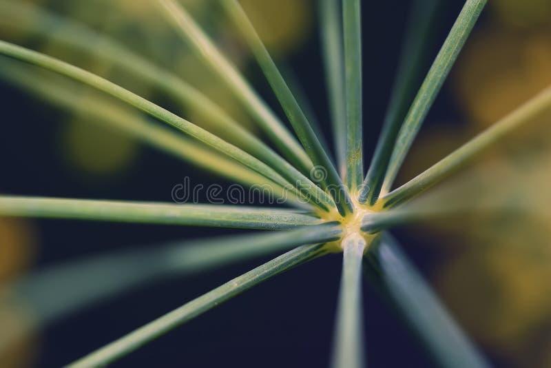 Primo piano astratto dell'aneto dell'inflorescenza fotografie stock