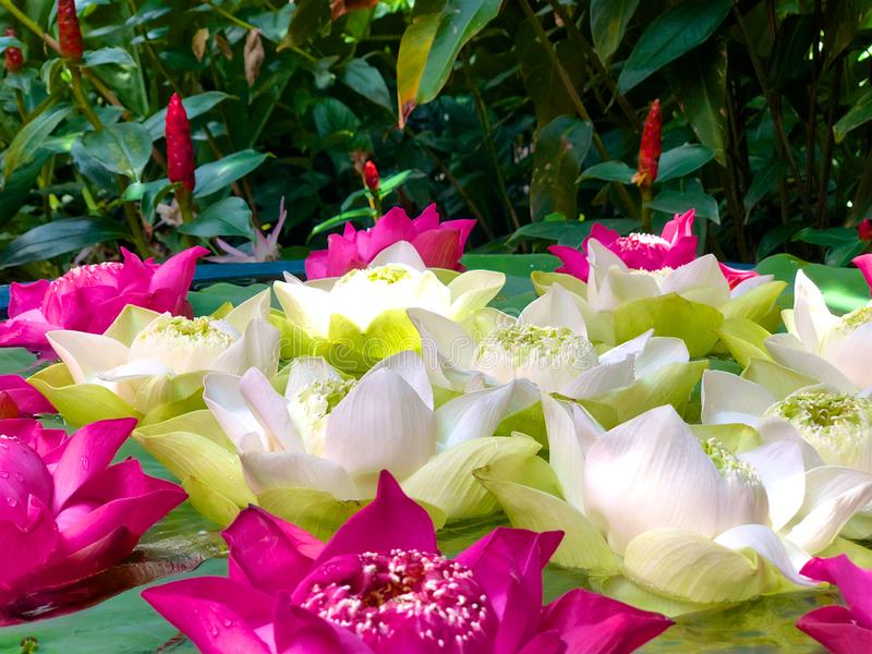 Primo piano, baccello verde del loto e petali molli & di rosa del loto bianco contro fogliame fotografia stock libera da diritti