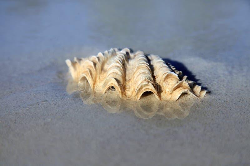 Primo piano bagnato della conchiglia sulla sabbia fotografie stock