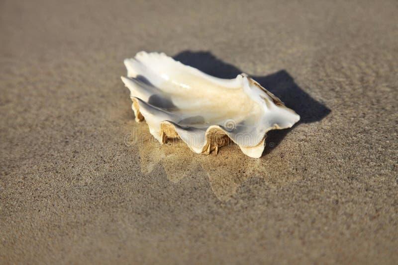 Primo piano bagnato della conchiglia sulla sabbia immagini stock