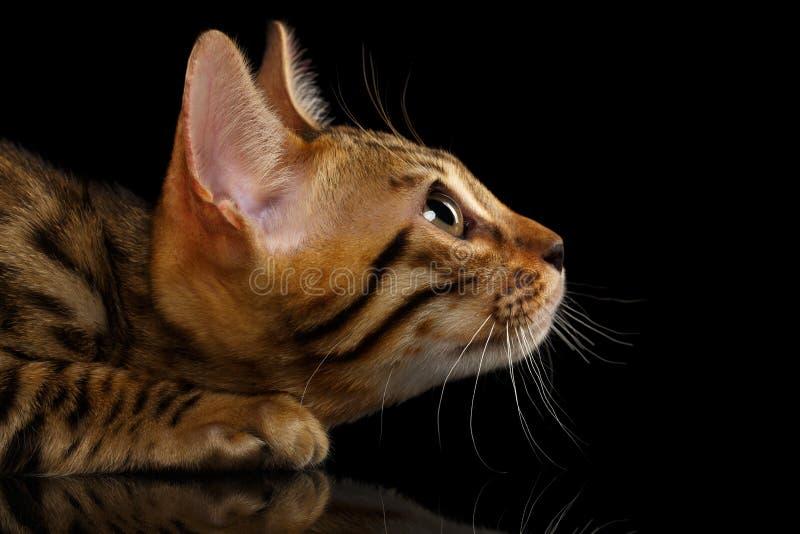 Primo piano Bengala accovacciantesi Kitty nella vista di profilo sopra immagini stock