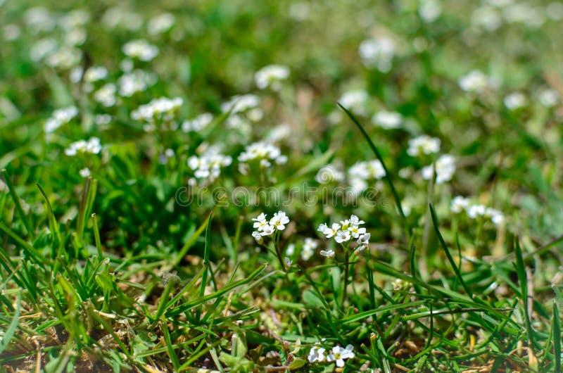 Primo piano bianco dei wildflowers fotografia stock