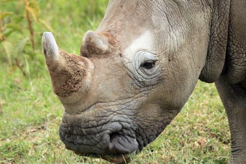 Primo piano bianco di rinoceronte fotografia stock libera da diritti