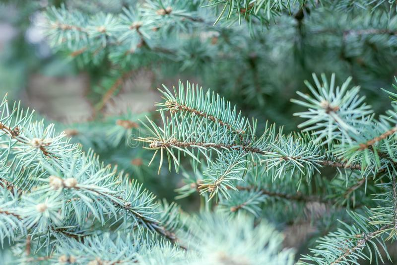 Primo piano blu del ramo del pino Priorit? bassa di inverno fotografia stock