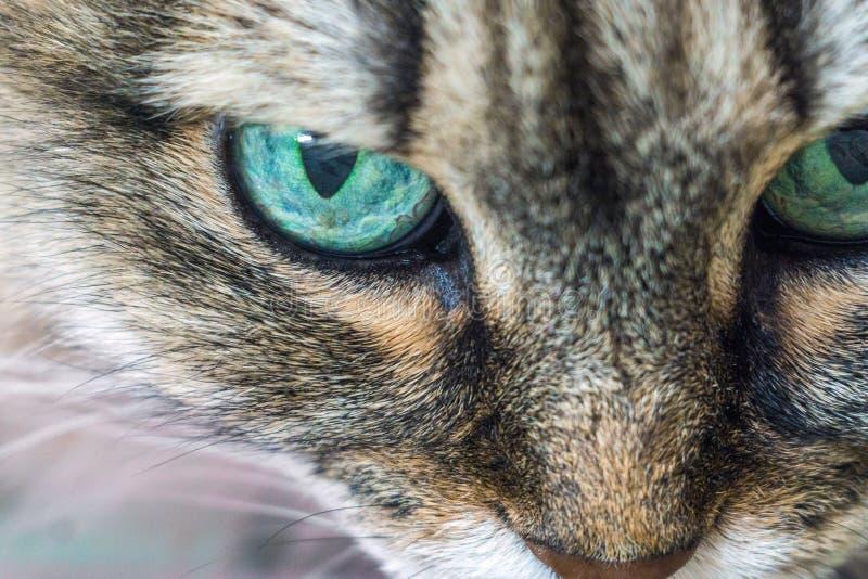 primo piano capo del gatto fotografia stock libera da diritti
