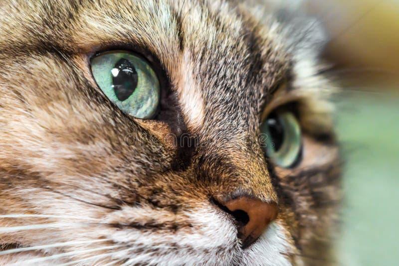 primo piano capo del gatto fotografia stock