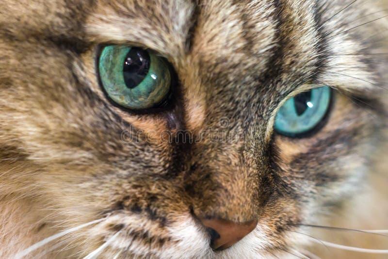 primo piano capo del gatto immagine stock