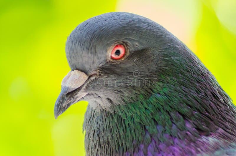 Primo piano capo del piccione su un fondo vago Primo piano selvaggio splendido della colomba Fuoco selettivo Fuoco molle fotografie stock libere da diritti
