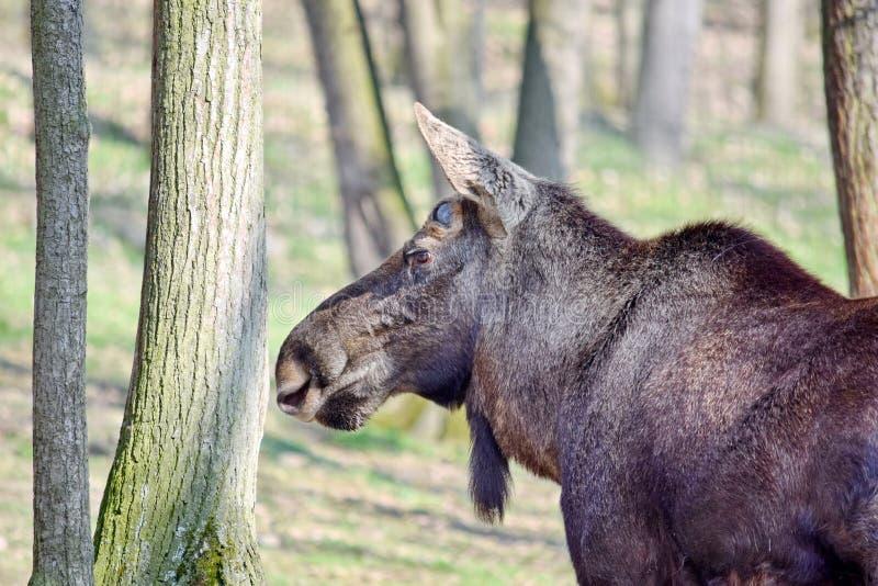 Primo piano capo della renna in Forest Rangifer Tarandus Fennicus fotografie stock