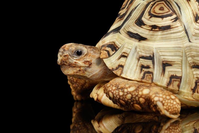 Primo piano che dà una occhiata all'albino della tartaruga del leopardo, pardalis di Stigmochelys, coperture bianche, fondo nero  immagini stock libere da diritti