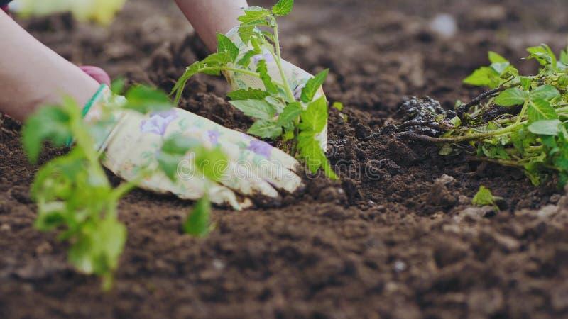 Primo piano che pianta le piantine dei pomodori nella terra immagini stock libere da diritti