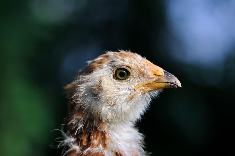Primo piano chiazzato del pollo del bambino fotografia stock libera da diritti